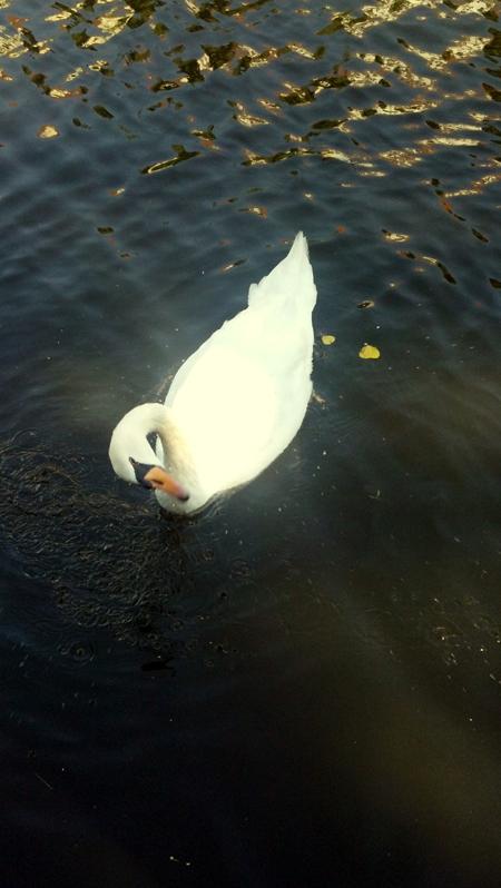 swan2s