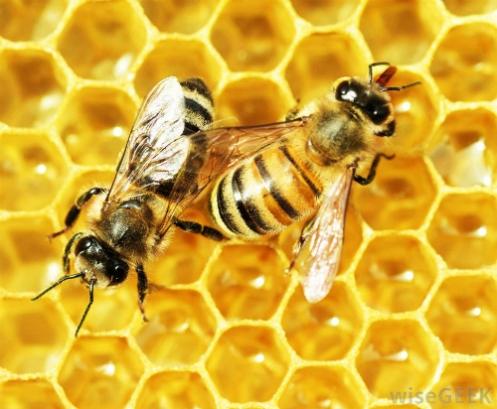 honey-bees-working